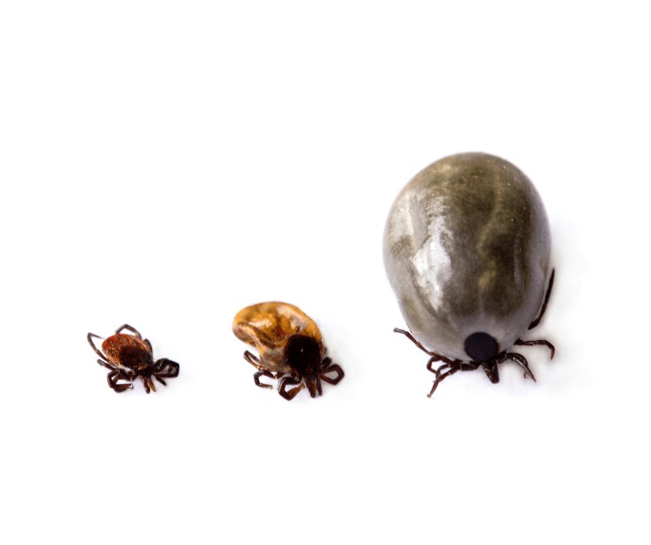 what do ticks look like