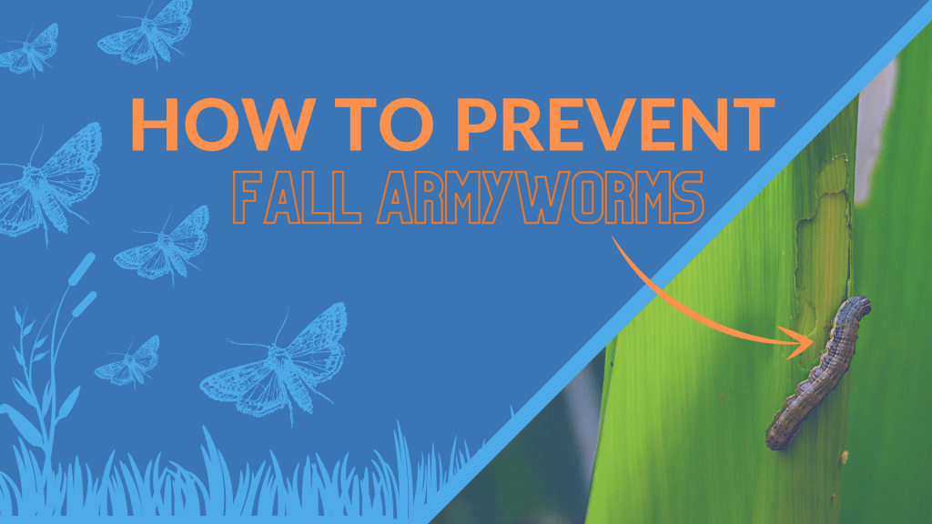 how to prevent fall armyworms